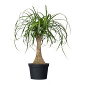 BEAUCARNEA RECURVATA Potted plant, Elephant's foot - 101.200.64