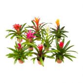 BROMELIACEAE Potted plant, Bromeliad - 002.870.40