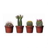 CACTACEAE Potted plant, assorted species plants - 901.200.60