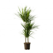 DRACAENA MARGINATA Potted plant, Dragon tree, 3-stem - 803.035.31