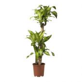 DRACAENA MASSANGEANA Potted plant, Dom plant, 3-stem - 901.660.53