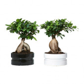 FICUS MICROCARPA GINSENG Plant with pot, bonsai, assorted colors - 002.345.46