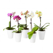 PHALAENOPSIS Plant with pot, Orchid, assorted colors - 502.419.69