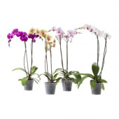 PHALAENOPSIS Potted plant, Orchid, 2 stems - 401.485.42