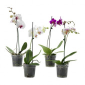 PHALAENOPSIS Potted plant, Orchid, 1 stem - 700.940.76