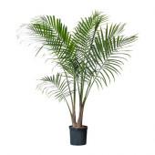 RAVENEA Potted plant, Majesty palm - 700.381.27