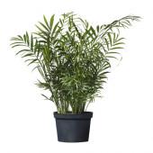 CHAMAEDOREA ELEGANS Potted plant, Parlor palm - 701.200.61