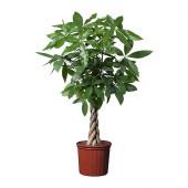 PACHIRA AQUATICA Potted plant, Guinea chestnut - 001.972.28